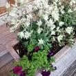 花壇の植え替え**