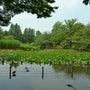 ●善福寺公園のスイレ…