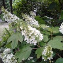 梅雨に花が咲くおスス…