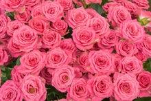 ピンクの薔薇のテクスチャ(ぱくたそ)
