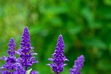 紫色のベロニカの花
