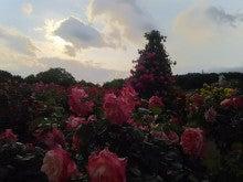 夕方の薔薇園