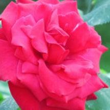 薔薇らしさ