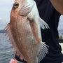 五ヶ所沖の真鯛