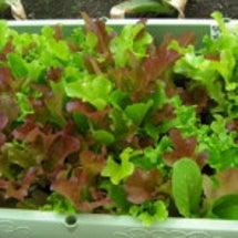 家庭菜園・・・初収穫…