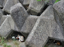 番長のシャム猫