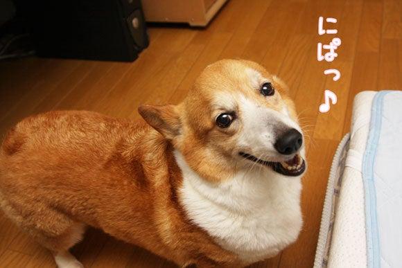 コーギーアルチ~ン:にぱっ♪