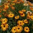 ハーブ畑の満開のお花…