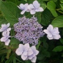 「紫陽花」~自然の造…