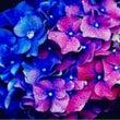 紫陽花や 梅雨のひか…