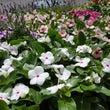 お花の苗再入荷!園芸…