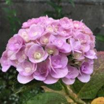 紫陽花の不思議♪