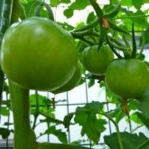 家庭菜園からの収穫♪…