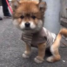 ライオンカットの子犬…