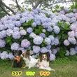 紫陽花の隠れミッキー…