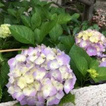 紫陽花♪゜・*:.。…