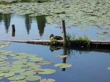 いもり池のカモ