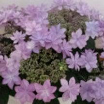 紫陽花でメルヘン