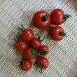 ミニトマトの収穫!き…