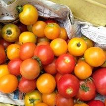 カラフルな夏野菜、採…
