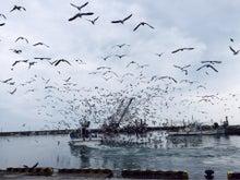 漁船に群がる鳥たち