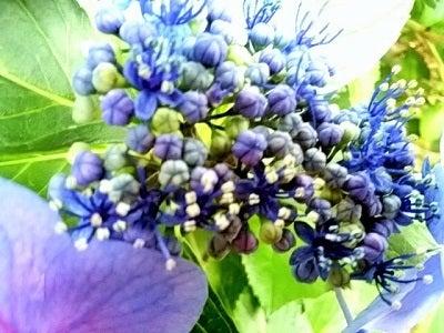 紫陽花in茅ヶ崎中央公園
