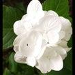 真っ白な紫陽花。