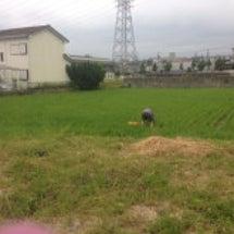 田んぼの草抜き。