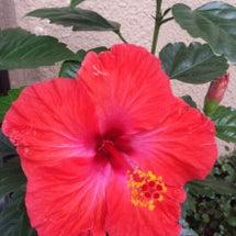 ハイビスカスが咲きま…