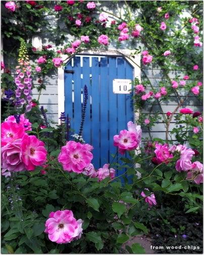 ブリリアントピンクアイスバーグ バラ 花