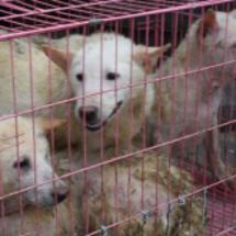 中国の犬肉祭り直前、…
