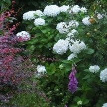 紫陽花づくしの庭