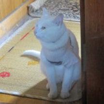 【猫日記 TW版】白…