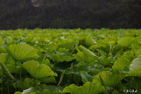 蓮の葉っぱと雨・6