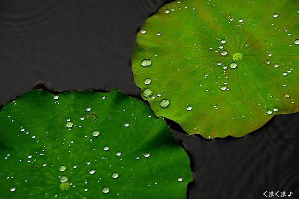 蓮の葉っぱと雨・4