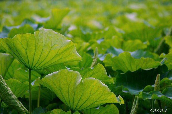 蓮の葉っぱと雨・5