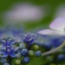 紫陽花と待つ青空