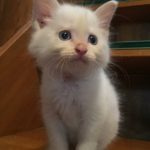 青い瞳が魅力的ふわふわ可愛い男の子推定1ヵ月半