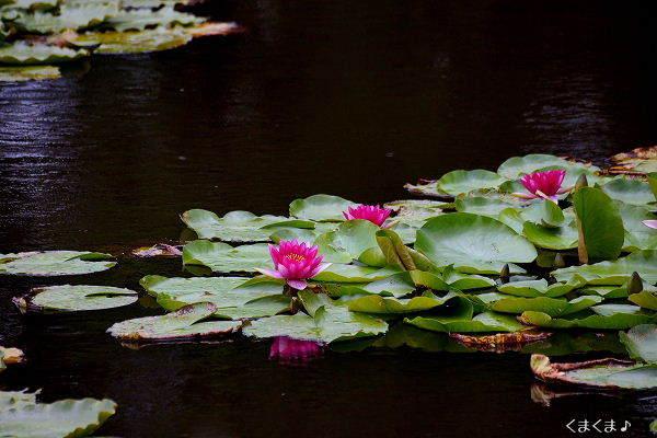 スイレンが咲く池