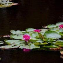 ピンクのスイレンが咲…