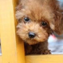 トイプードル子犬見学…