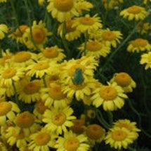 ハニーサックルのお花…