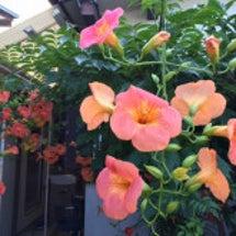 夏の花「ノウゼンカズ…