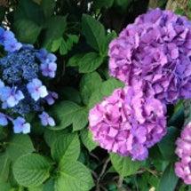 新潟の紫陽花