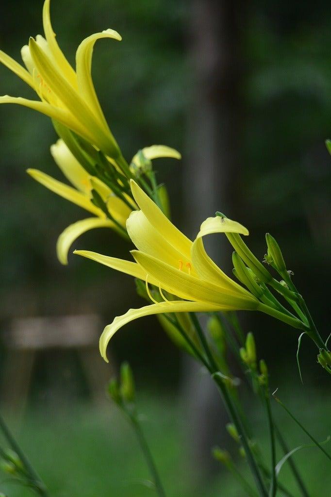 禅庭花(ぜんていか)