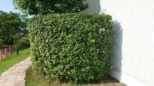 カシの垣根