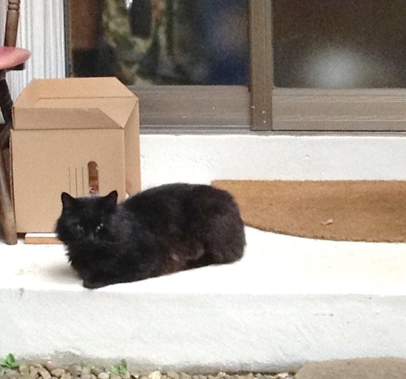 洋ミックス黒猫