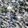 ●コチドリの産卵 畑…