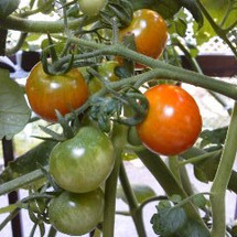 プチトマトが 色づき…