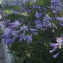 愛の花、アガパンサス